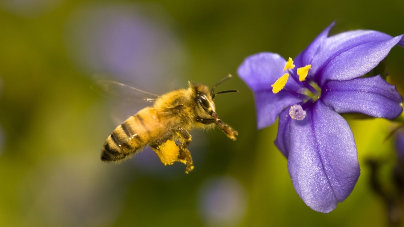 Original source: http://animalsbirds.com/wp-content/uploads/2016/07/Honey-Bee-collecting-food-from-flowers-Images.jpg