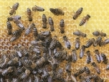 Beginner Beekeeping- Live Online