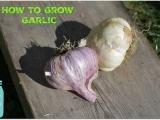 How to Grow Garlic in Maine