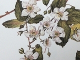 Botanical Drawing  Spring Blossoms