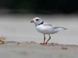 Piping Plover Beach Party