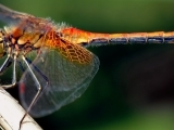 Dragonflies: Their Fascinating Lives