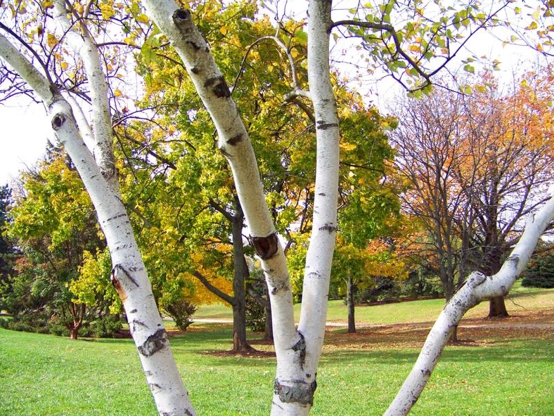 Original source: https://storage.needpix.com/rsynced_images/birch-tree-and-other-trees.jpg