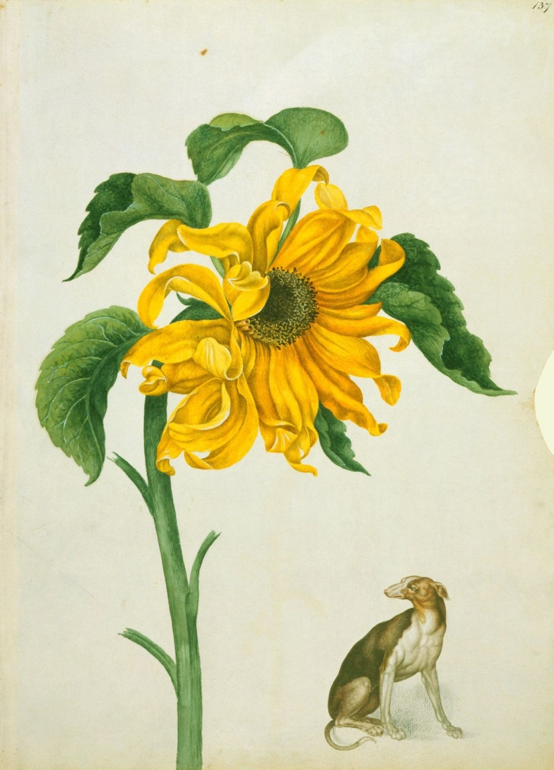 Original source: https://upload.wikimedia.org/wikipedia/commons/5/54/Common_sunflower_and_greyhound_%28RCIN_924404%29.jpg