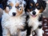 AKC Puppy Class