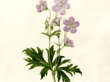 Botanical Drawing, Market Flowers in Color
