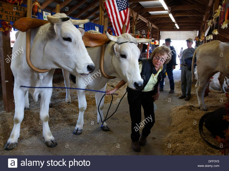 Original source: https://c8.alamy.com/comp/DFF3Y5/a-woman-leads-her-oxen-from-a-barn-at-the-fryeburg-fair-fryeburg-maine-DFF3Y5.jpg