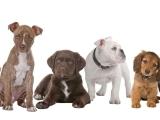 AKC Star Puppy Class