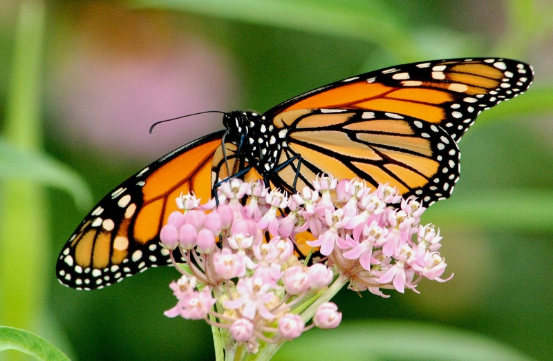 Original source: https://upload.wikimedia.org/wikipedia/commons/thumb/b/b3/Monarch_Butterfly_on_Swamp_Milkweed_%2828780183930%29.jpg/1280px-Monarch_Butterfly_on_Swamp_Milkweed_%2828780183930%29.jpg