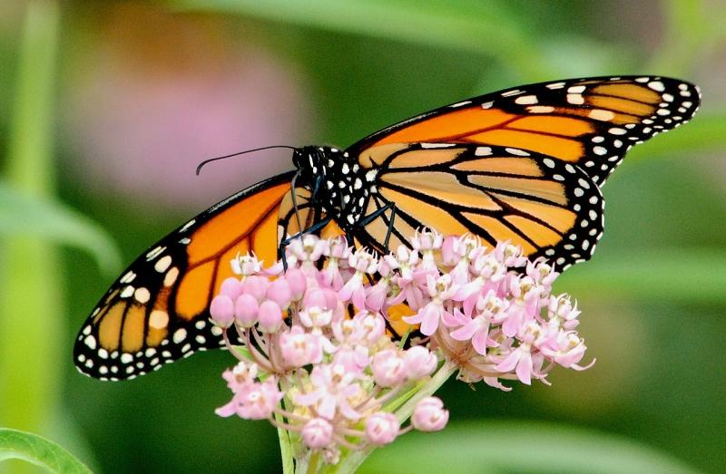 Original source: https://upload.wikimedia.org/wikipedia/commons/thumb/b/b3/Monarch_Butterfly_on_Swamp_Milkweed_%2828780183930%29.jpg/1280px-Monarch_Butterfly_on_Swamp_Milkweed_%2828780183930%29.jpg