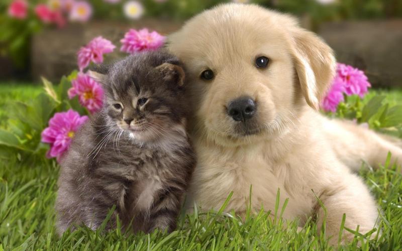 Original source: http://images4.fanpop.com/image/photos/16800000/Dog-and-Cat-Wallpaper-teddybear64-16834786-1280-800.jpg