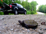 Turtle Roadkill Survey Training - Houlton