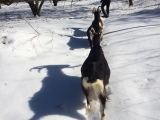 Snowshoeing with the Goats