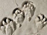 Identifying Animal Tracks: Live Online