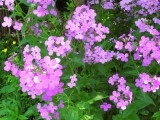 Invasive Plants in Maine Natural Areas