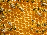 What's All the Buzz about Bees