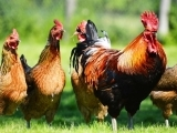 Original source: http://www.anh-usa.org/wp-content/uploads/2015/12/chickens-web.jpg
