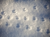 Winter Wildlife Tracking