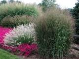 405S19 Ornamental Grasses