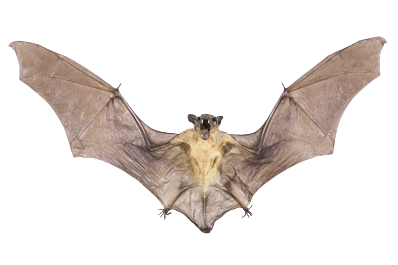 Original source: http://animalia-life.com/data_images/bat/bat1.jpg