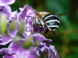Common Bees in Your Backyard