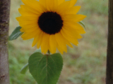 Sunflower Paint Night