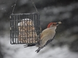 Feeding & Identifying Winter Birds