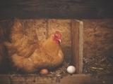 Raising Chickens - Litchfield