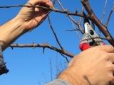 Proper Pruning of Apple Trees