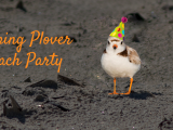 Piping Plover Party