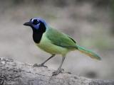 South Texas Rarities – Birding Tour