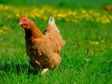 Chicken and Eggs: Health Management and Care of Successful Backyard Flocks