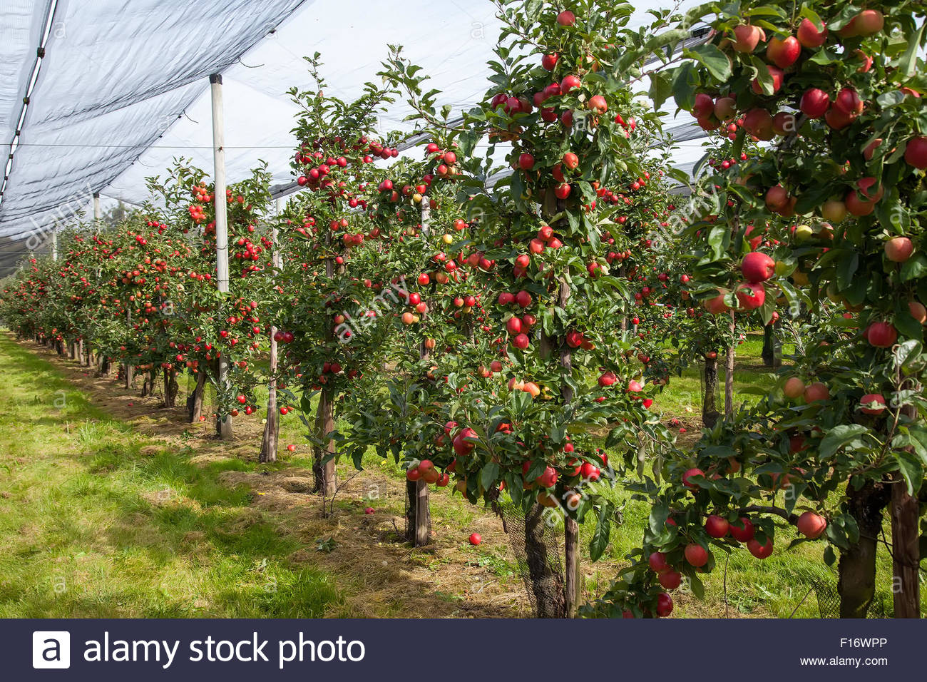 Apple Orchard Planning & Maintenance