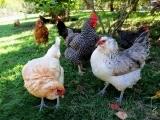 Raising Chickens (NEW) - Litchfield