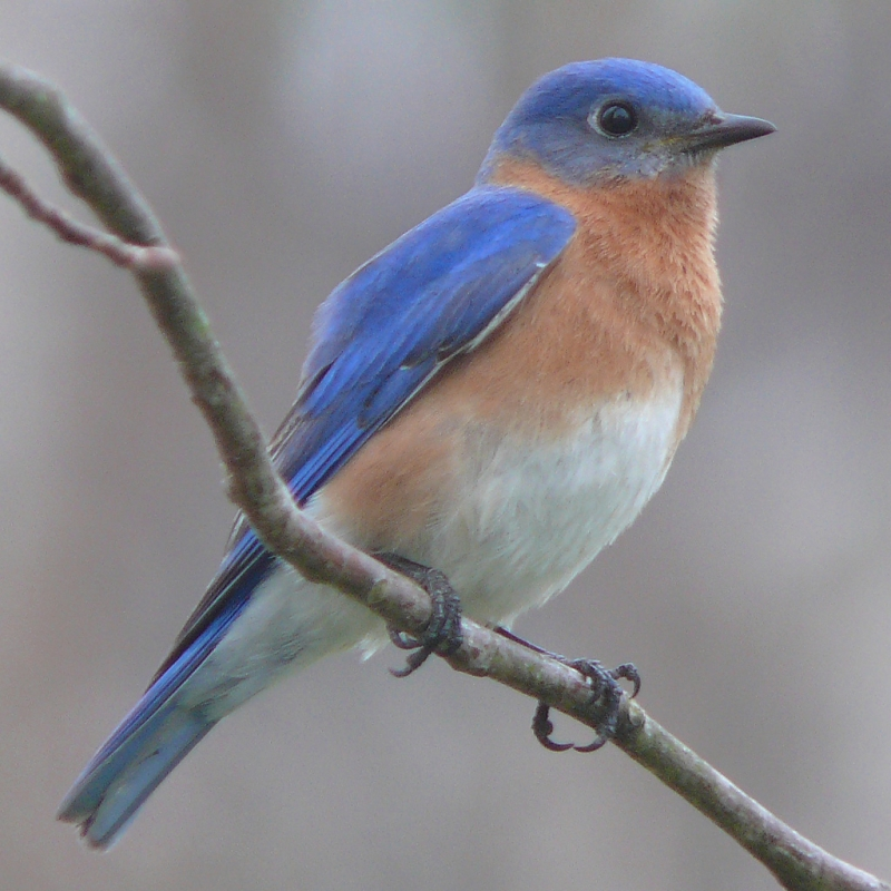 Original source: https://upload.wikimedia.org/wikipedia/commons/9/9b/Eastern_Bluebird-27527-2.jpg