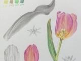 Botanical drawing   Creating a study sheet