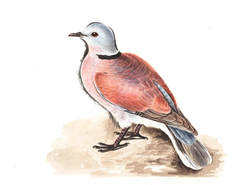 Original source: https://upload.wikimedia.org/wikipedia/commons/thumb/0/0e/Redturtledove_gwillim.jpg/1280px-Redturtledove_gwillim.jpg