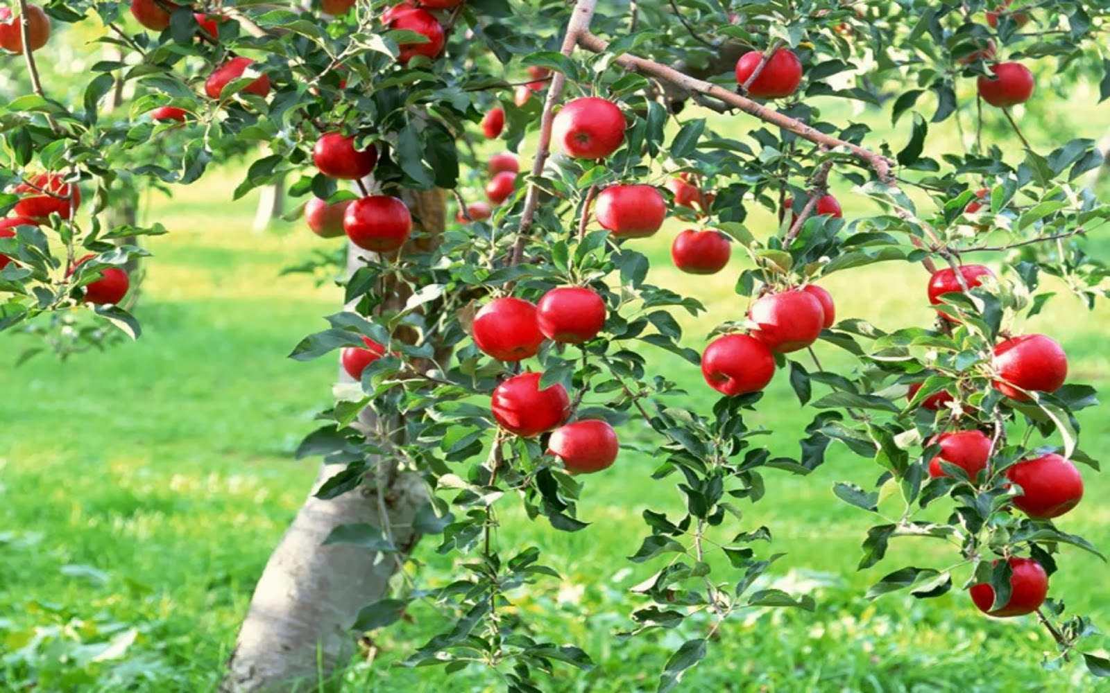 Apple Fruit Tree Pruning - Spring 2019