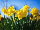 The Daffodil Project