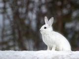Drawing Night: Snowshoe Rabbit
