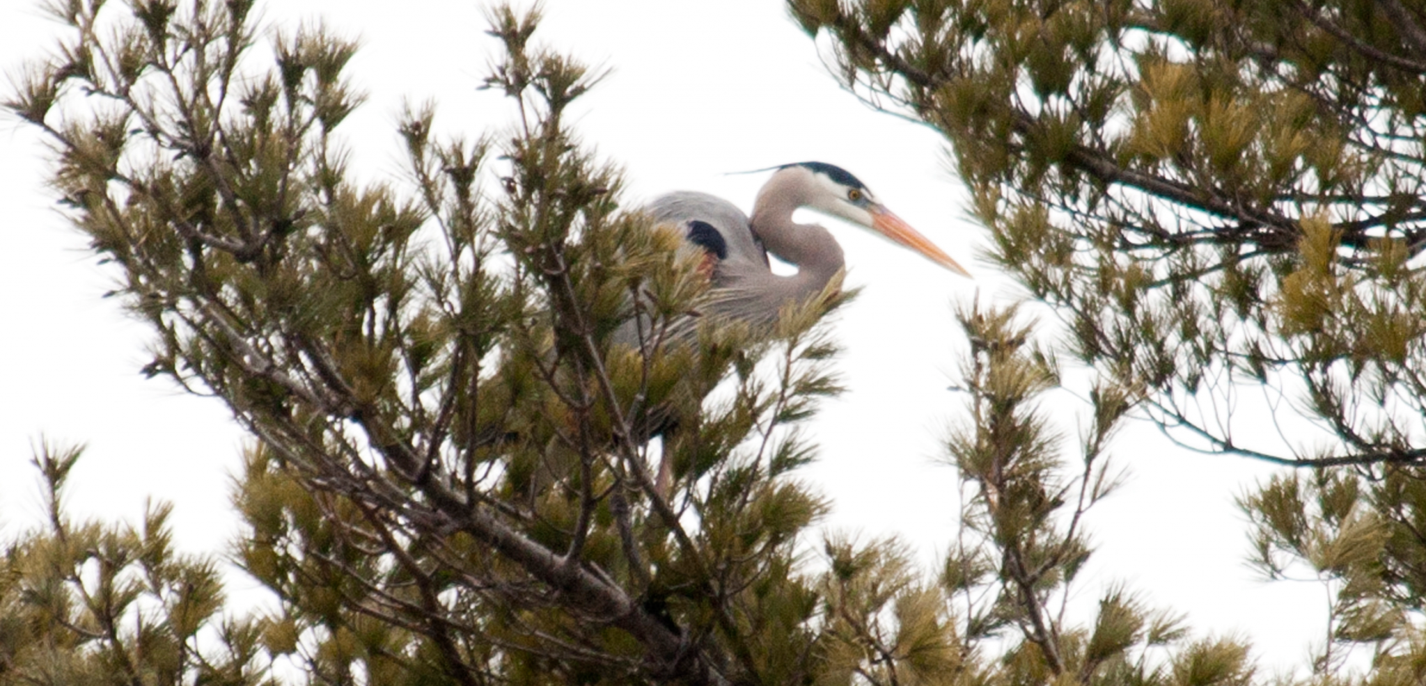 Tracking Maine's Great Blue Herons Beyond State Lines