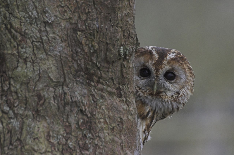 Original source: https://upload.wikimedia.org/wikipedia/commons/thumb/a/a1/Tawny_Owl_Lincolnshire.jpg/1280px-Tawny_Owl_Lincolnshire.jpg