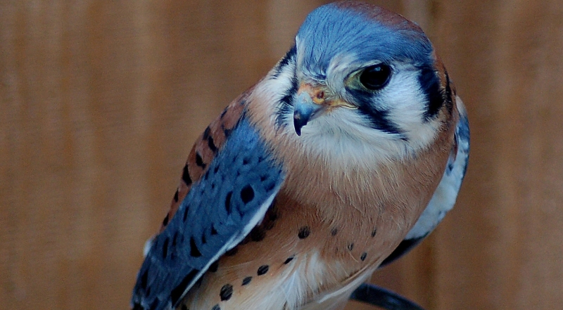 Original source: https://www.ohiowildlifecenter.org/wp-content/uploads/2015/04/American-Kestrel-Ace.jpg