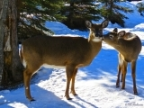 Maine Deer: Winter Weather Warriors