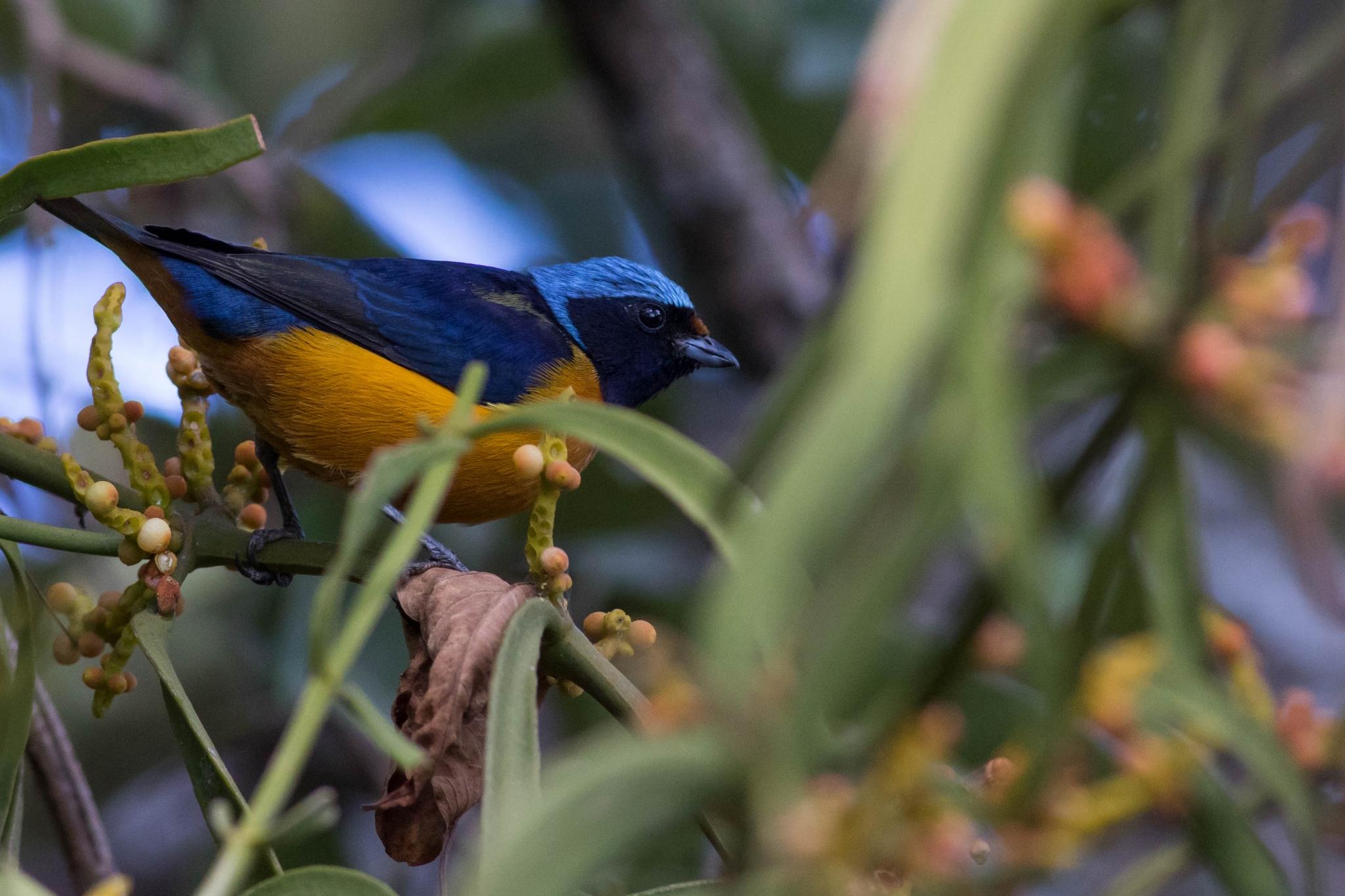Mexico: Oaxaca Birding Trip