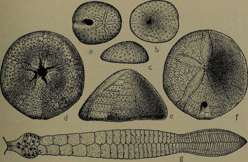 Original source: https://upload.wikimedia.org/wikipedia/commons/thumb/2/23/North_American_index_fossils%2C_invertebrates_%281909%29_%2814780784522%29.jpg/1280px-North_American_index_fossils%2C_invertebrates_%281909%29_%2814780784522%29.jpg
