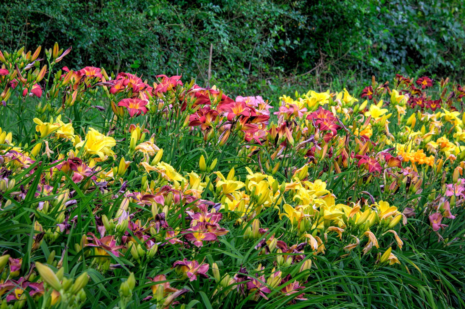 Daylilies: The Essential Perennial