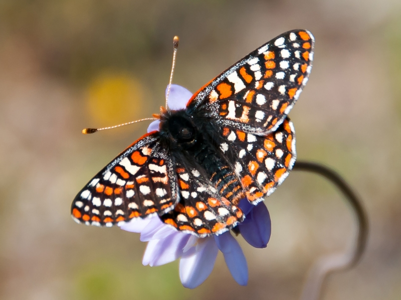 Original source: https://upload.wikimedia.org/wikipedia/commons/8/80/Quino_Checkerspot_Butterfly_on_a_wild_hyacinth_%2831651366006%29_cropped.jpg