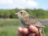 Sharp-tailed Sparrow Workshop