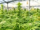 Cannabis Core Curriculum CANA 001.54, CRN 36243